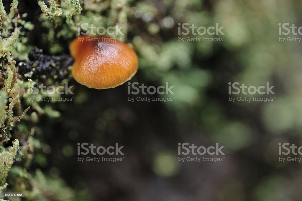 Wild Mushroom royalty-free stock photo