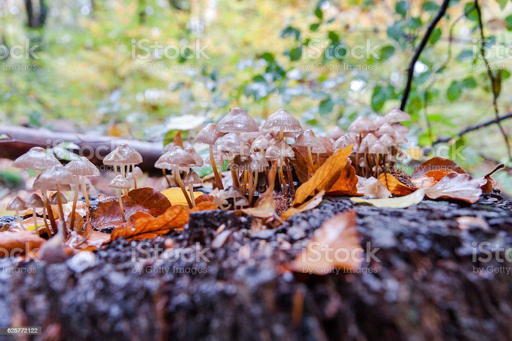 Wild mushrooms at autumn in forrest stock photo