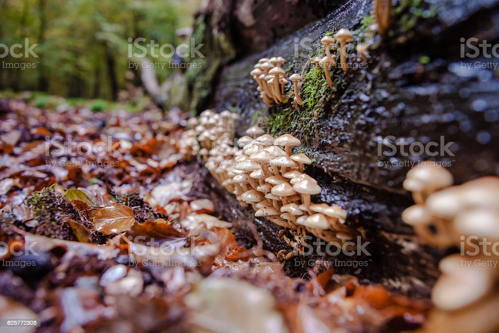 Wild mushrooms at autumn in forrest stock photo