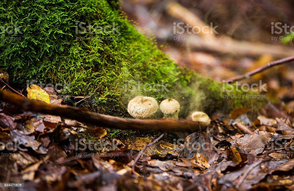 Wild mushrooms Bovista plumbea stock photo