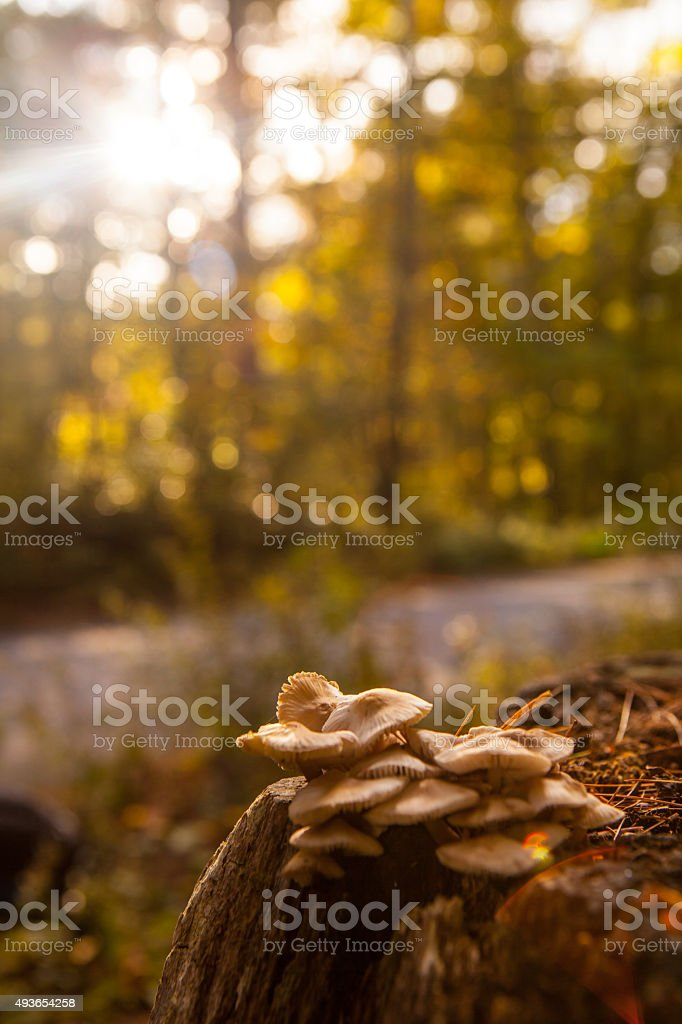 Wild mushrooms growing on a stump in the woods. stock photo