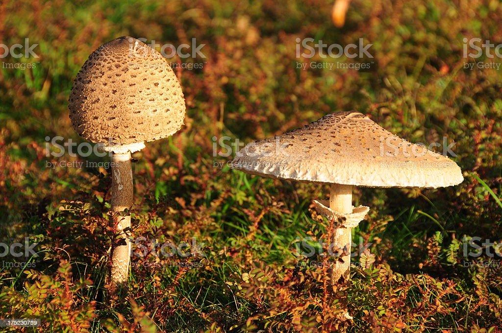 Wild mushrooms, Jersey. royalty-free stock photo