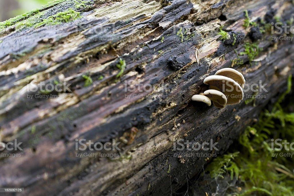 Waldpilze auf Old Log Lizenzfreies stock-foto
