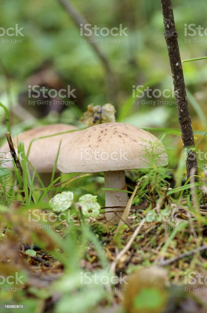 Wild mushrooms on the ground. royalty-free stock photo