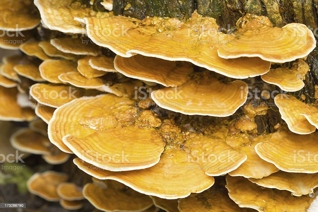 Wild mushrooms, Tree fungus royalty-free stock photo
