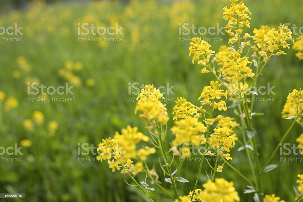 Wild mustard royalty-free stock photo