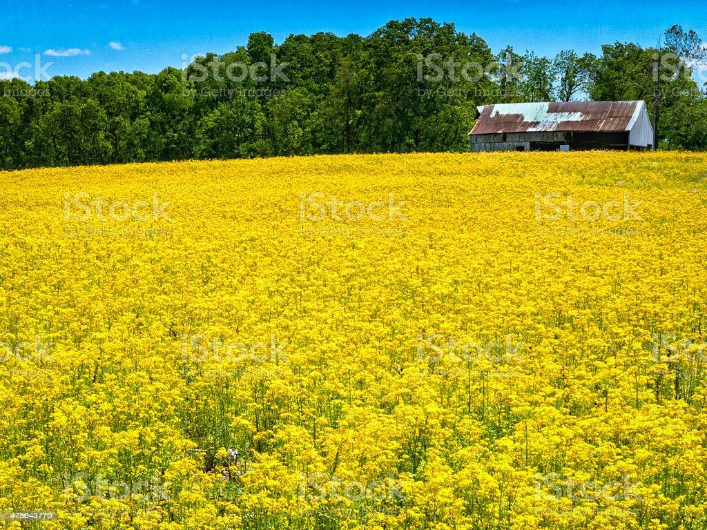 Wild Mustard stock photo