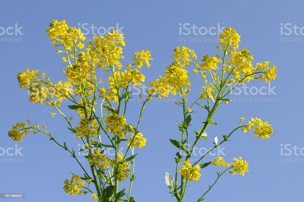 Wild Mustard Plant Flowers royalty-free stock photo
