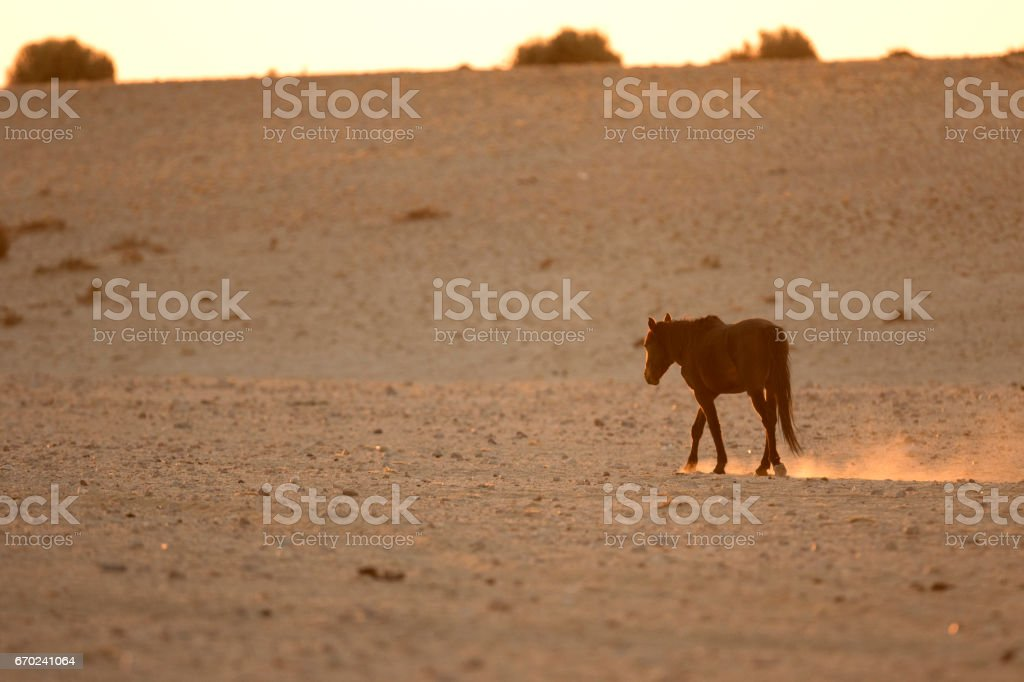 Wild Namibian desert horse. stock photo