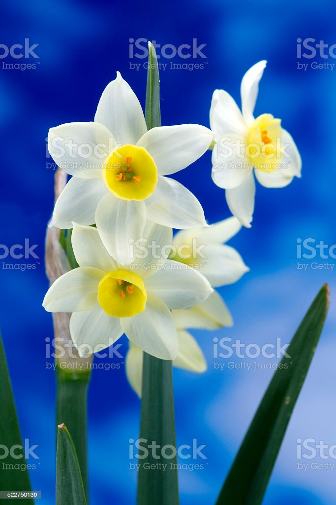 Wild Narcissus Flowers stock photo