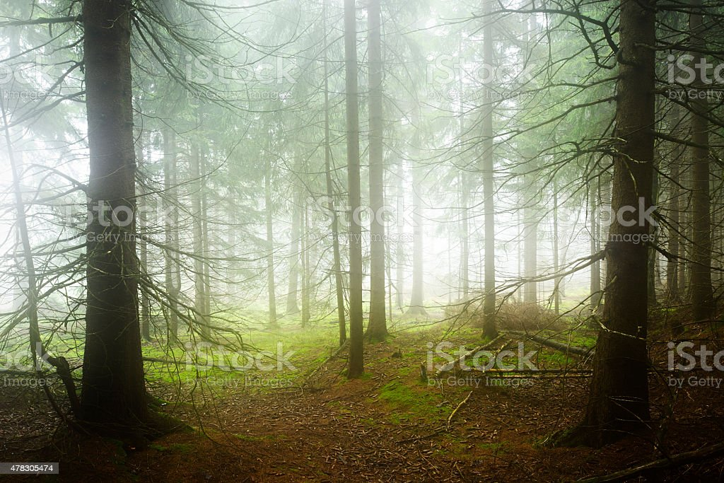 Wild Natural Spruce Tree Forest in Dense Fog stock photo