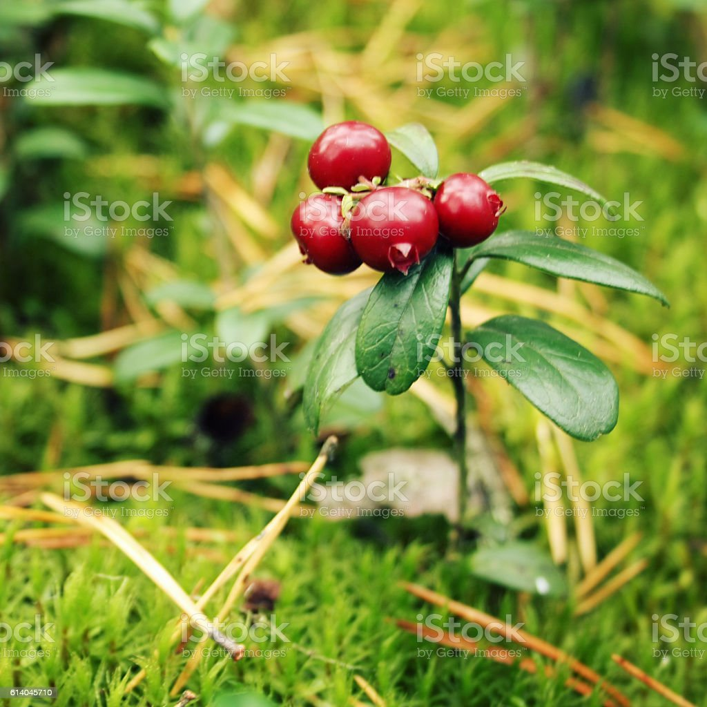 Wild nature. Cowberry in the forest. Macro. stock photo