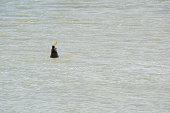 Wild New Zealand Fur Seal Eating, Murray River, Goolwa, SA