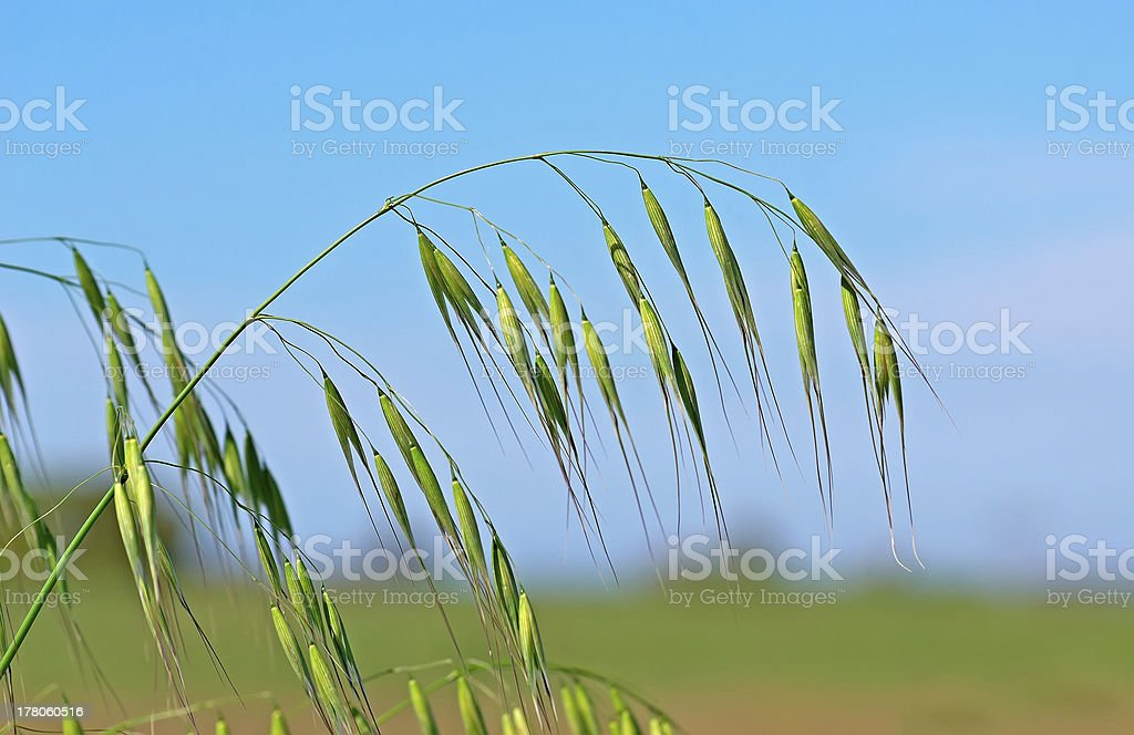 wild oat stock photo