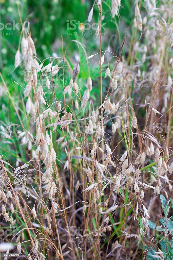 wild oats background stock photo