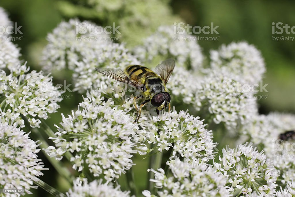 Volucella hoverfly feeding on flowerhead of wild Angelica sylvestris stock photo