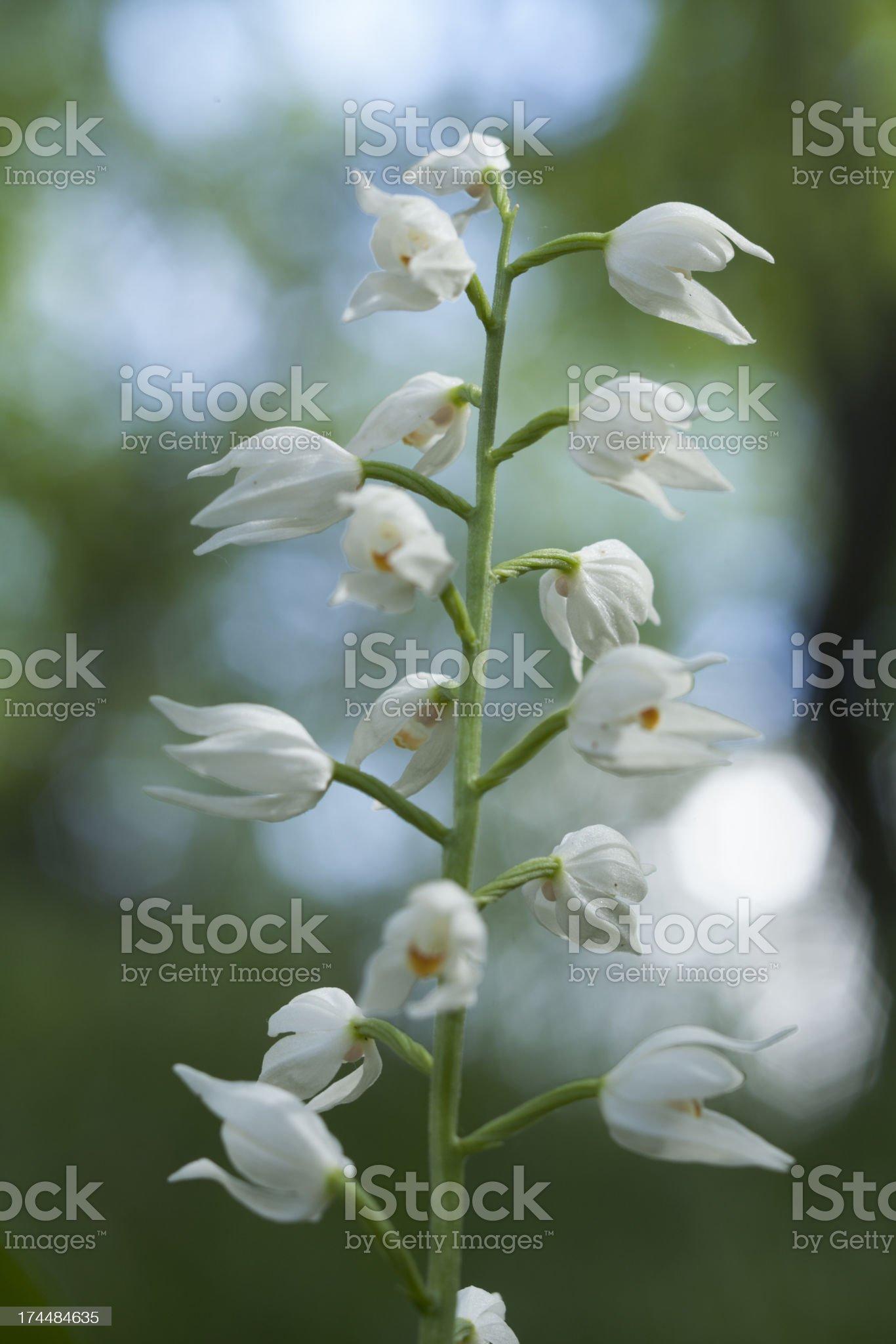 Wild Orchid: Cephalanthera longifolia royalty-free stock photo
