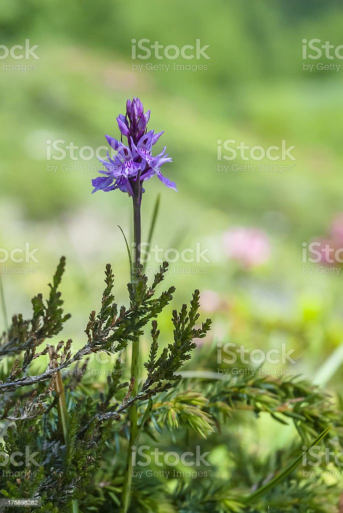Wild Orchid: Dactylorhiza maculata royalty-free stock photo