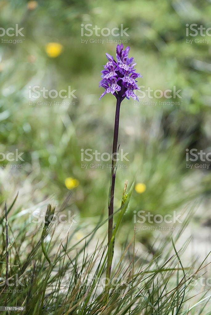 Wild Orchid: Dactylorhiza maculata royalty-free stock photo