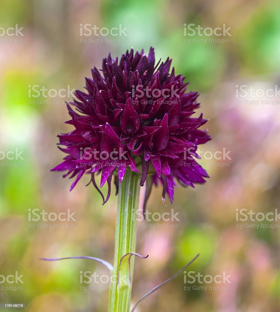 Wild Orchid: Nigritella nigra royalty-free stock photo
