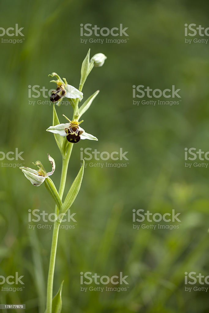 Wild Orchid: Ophrys apifera royalty-free stock photo