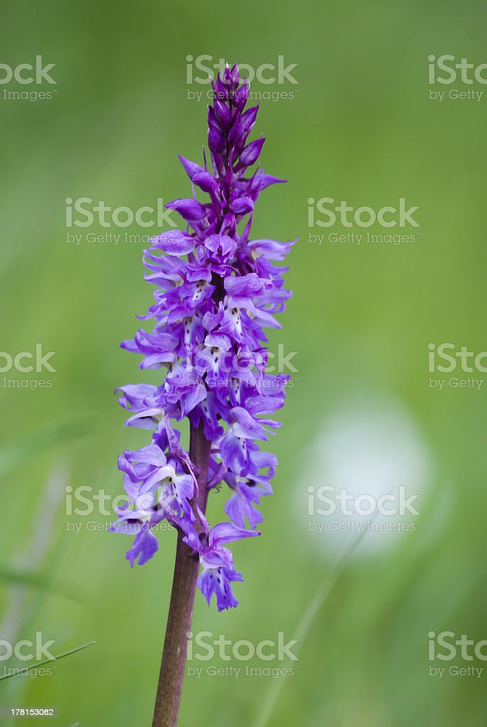 Wild Orchid: Orchis mascula royalty-free stock photo