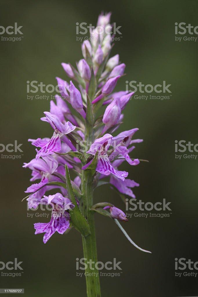 Wild orchid (Dactylorhiza maculata) stock photo