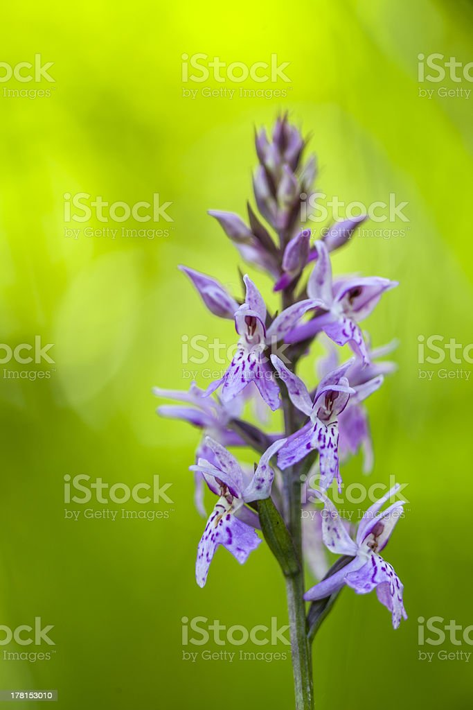 Wild Orchid royalty-free stock photo
