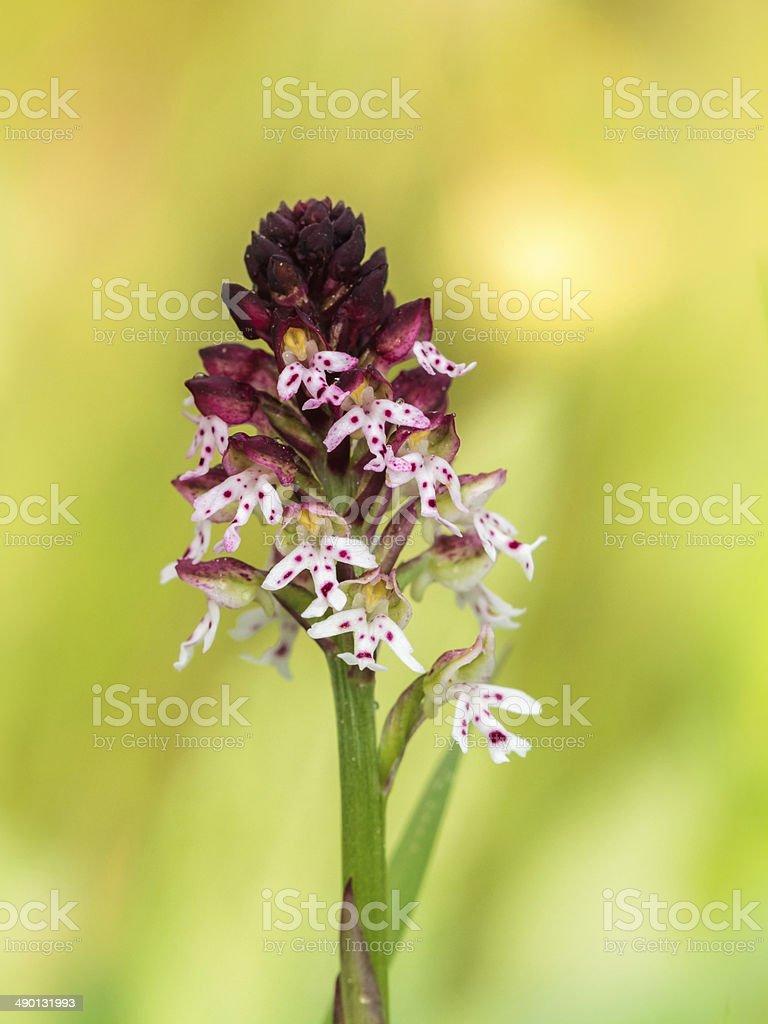 Wilde Orchidee Lizenzfreies stock-foto