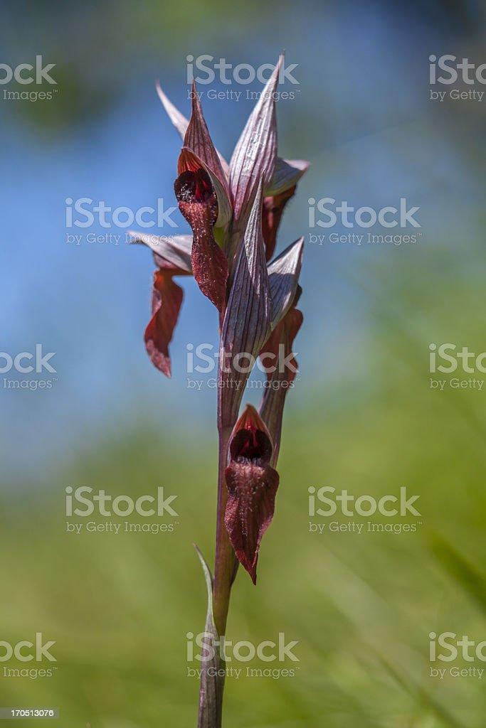 Wild Orchid: Serapias vomeracea royalty-free stock photo