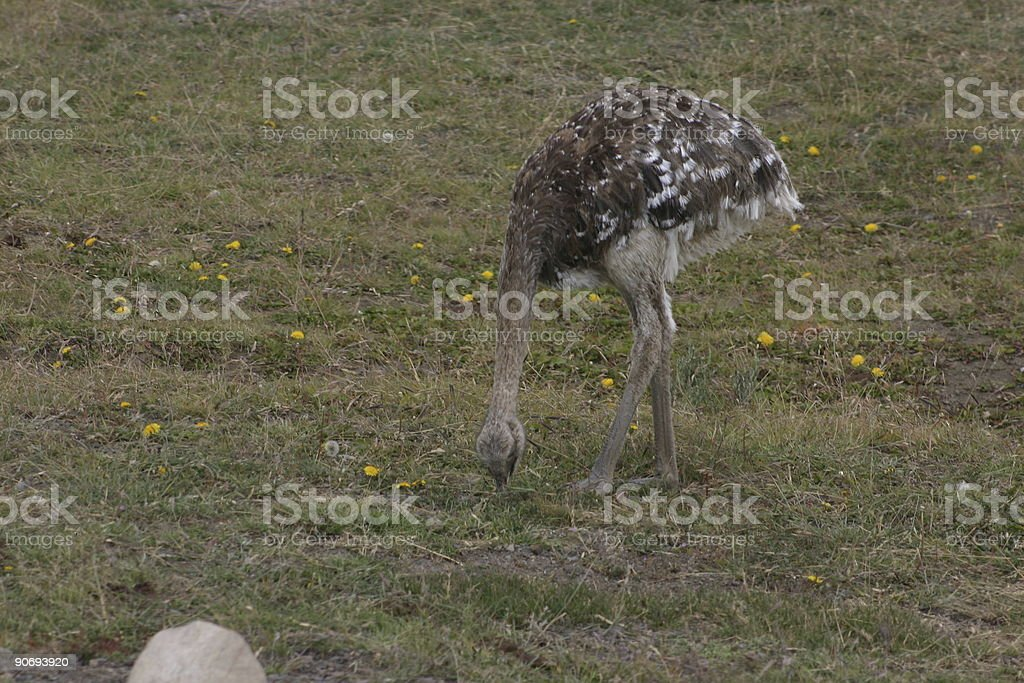 Wild ostrich in Patagonia, Chile royalty-free stock photo