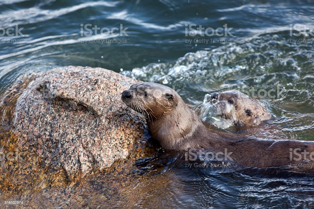 Wild otters swim play Lamar River Yellowstone National Park Wyoming stock photo