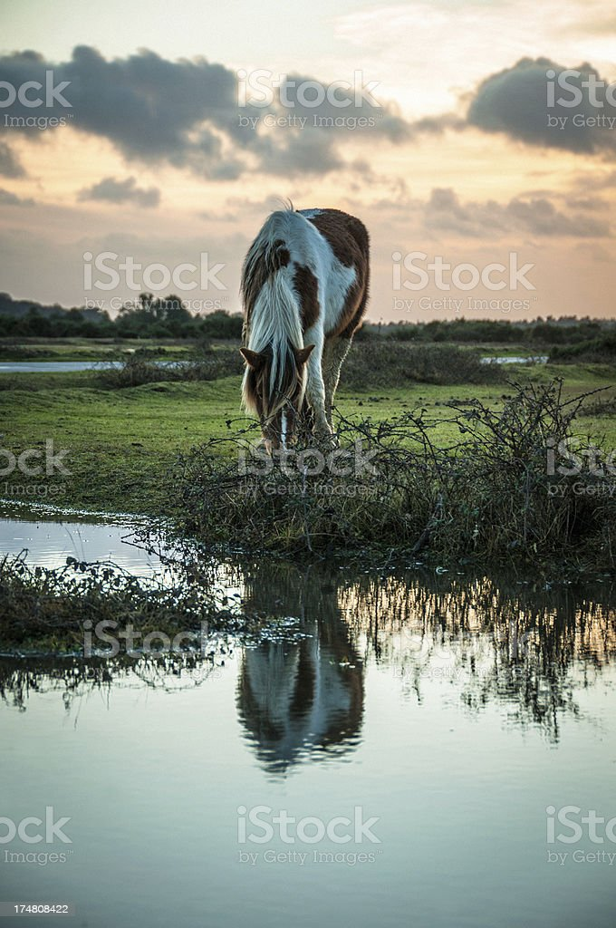 Wild paint horse at The New Forest, England royalty-free stock photo