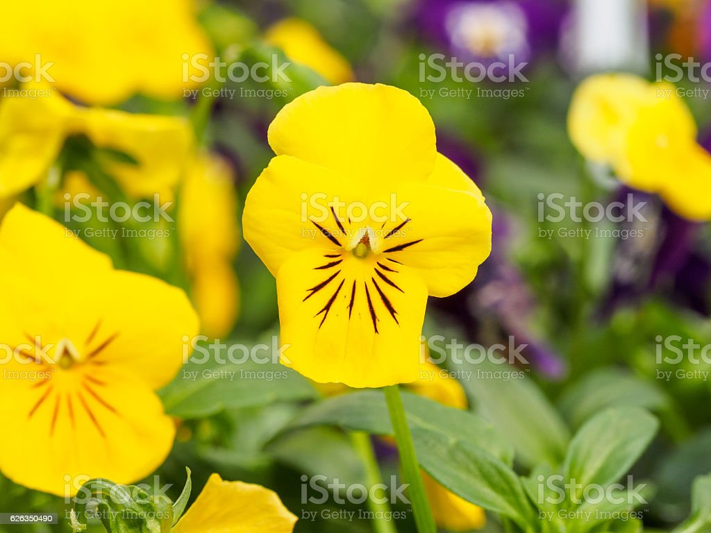 Wild Pansy (Viola tricolor), aka heart's ease, heart's delight, stock photo