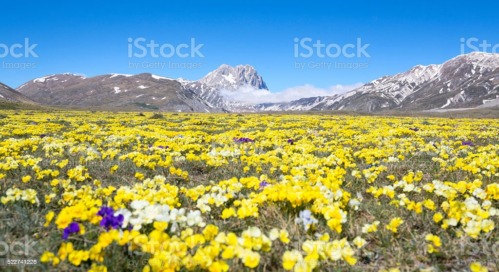 Wild Pansy and Corno Grande-Campo Imperatore, Abruzzi stock photo