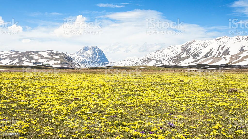 Wild Pansy at Campo Imperatore, Province of l'Aquila, Abruzzi Italy stock photo