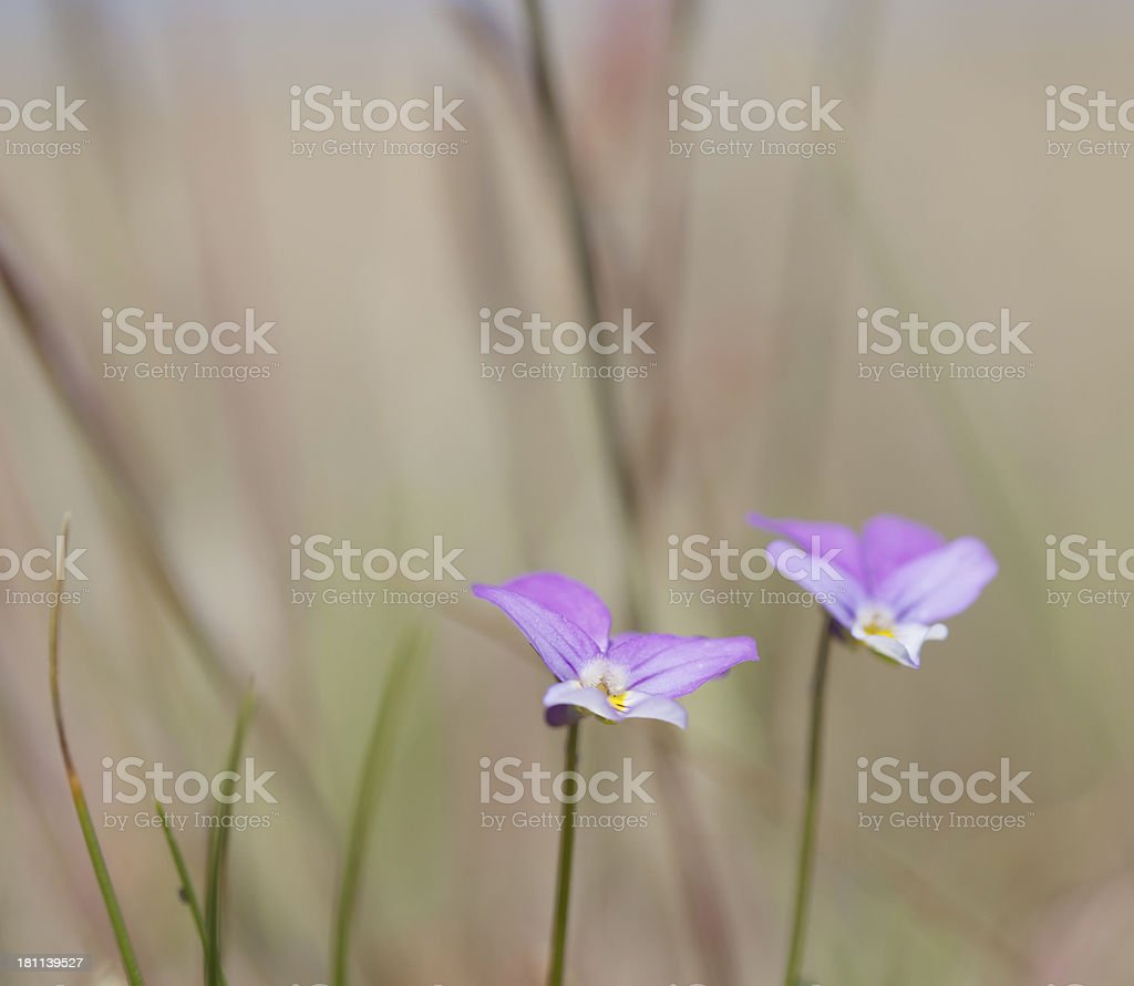 Wild Pansy (Viola tricolor) (Heartsease) Flowers royalty-free stock photo