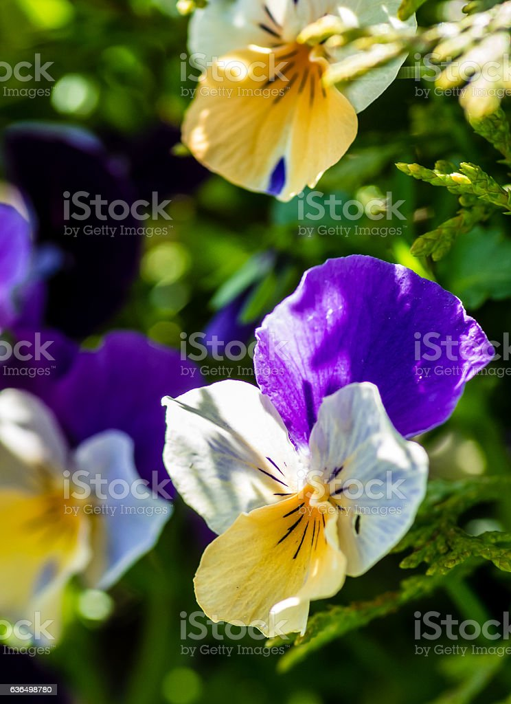 Wild pansy flowers stock photo
