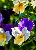 Wild pansy flowers