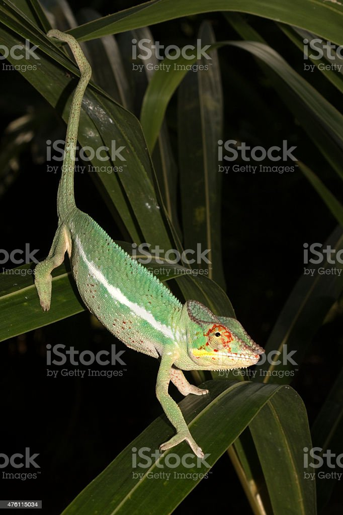 Wild panther chameleon climbs down leaves Nosy Be Madagascar stock photo