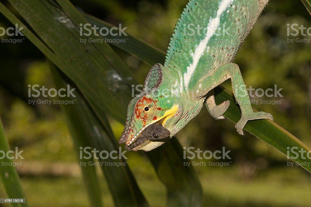 Wild panther chameleon eats day gecko Nosy Be Madagascar stock photo