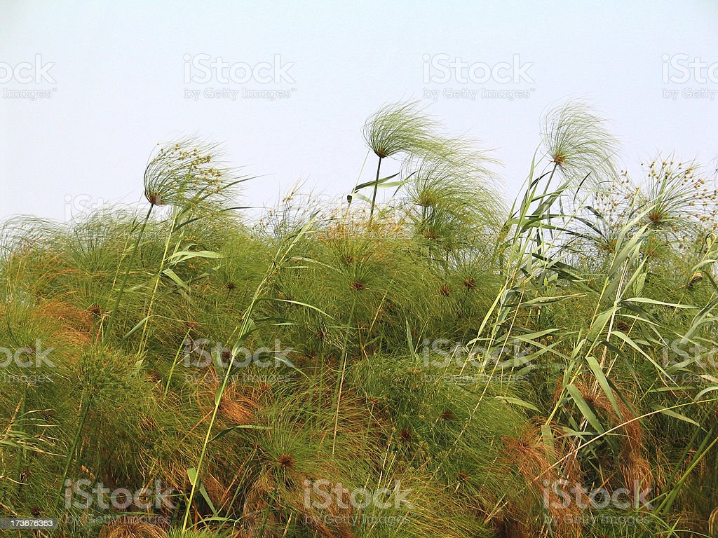 wild papyrus in the wind royalty-free stock photo