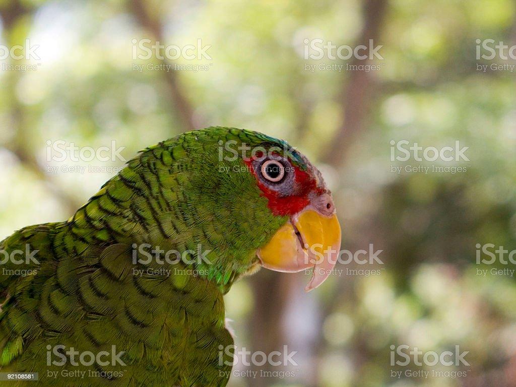 Wild Parrot royalty-free stock photo