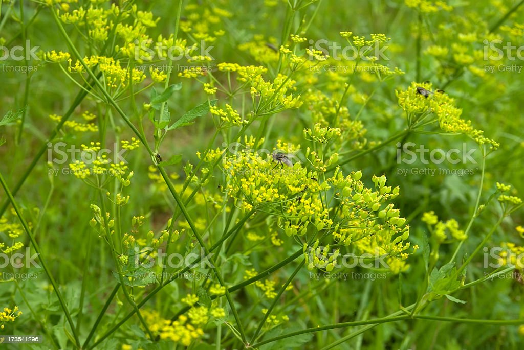 Wild Parsnip (Pastinaca sativa) stock photo