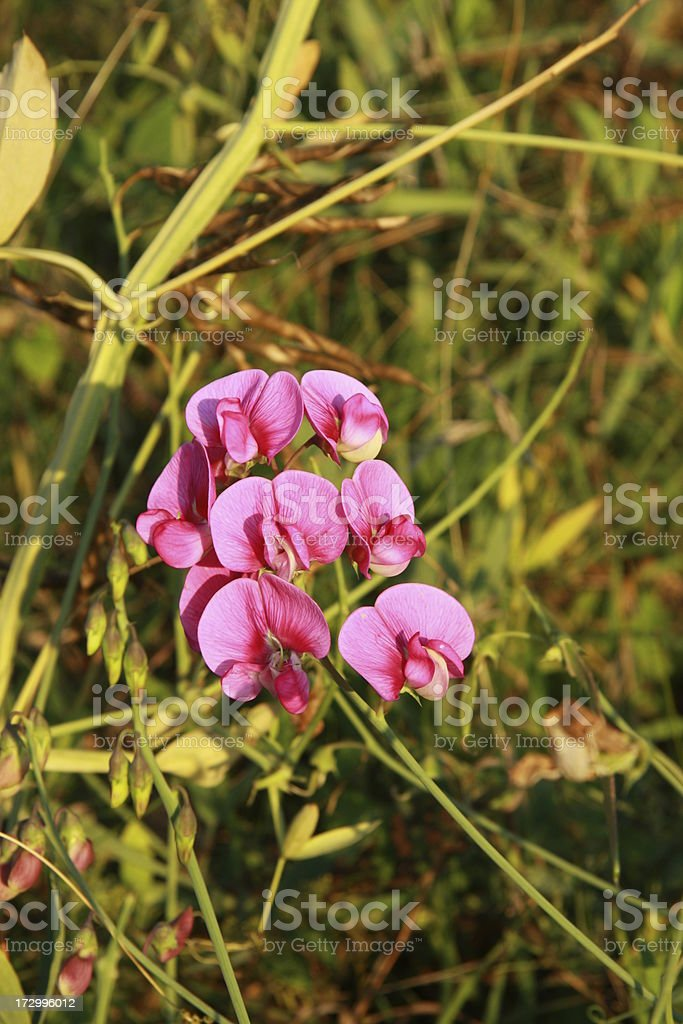 wild pea blossoms royalty-free stock photo