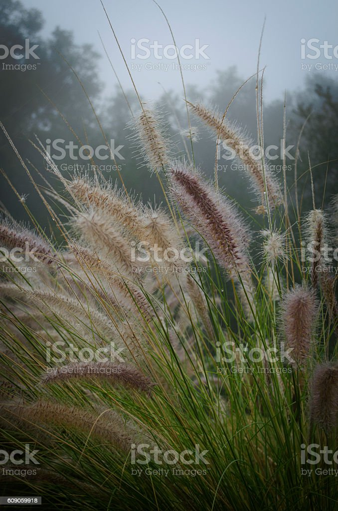 Wild Penesquito Pampas Grass Macro On Misty Country Morning stock photo