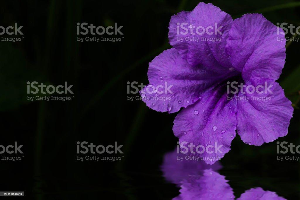 wild petunias stock photo