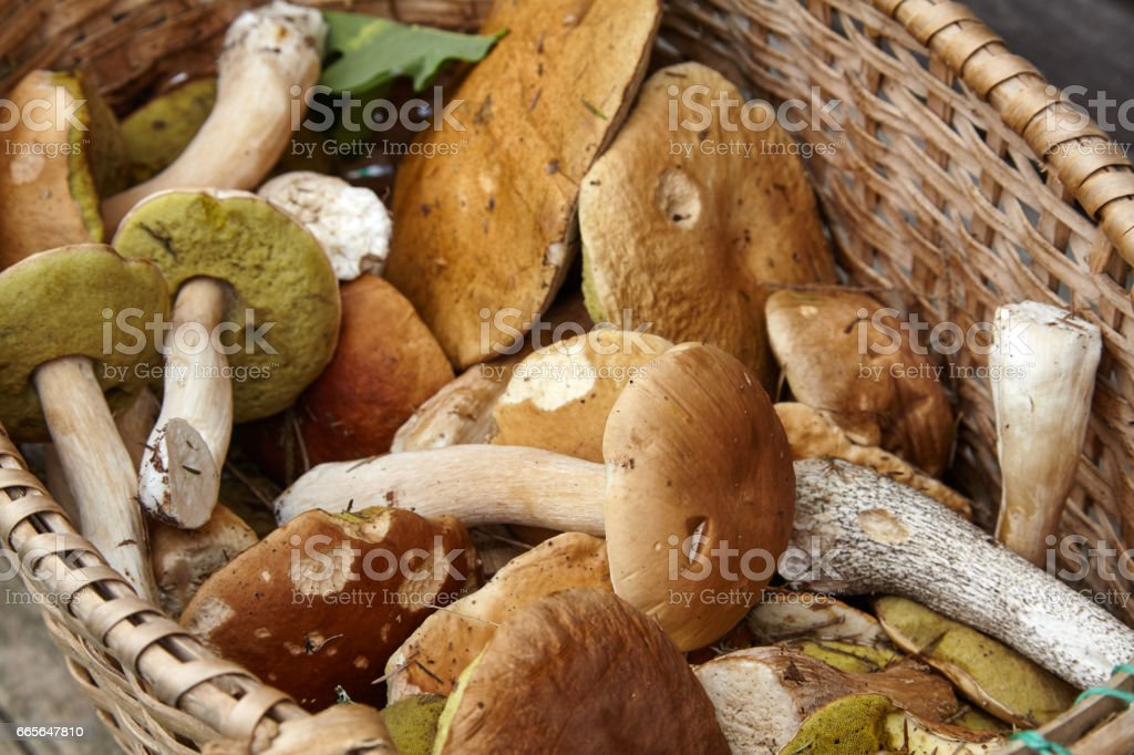 Wild picked mushrooms in the basket stock photo