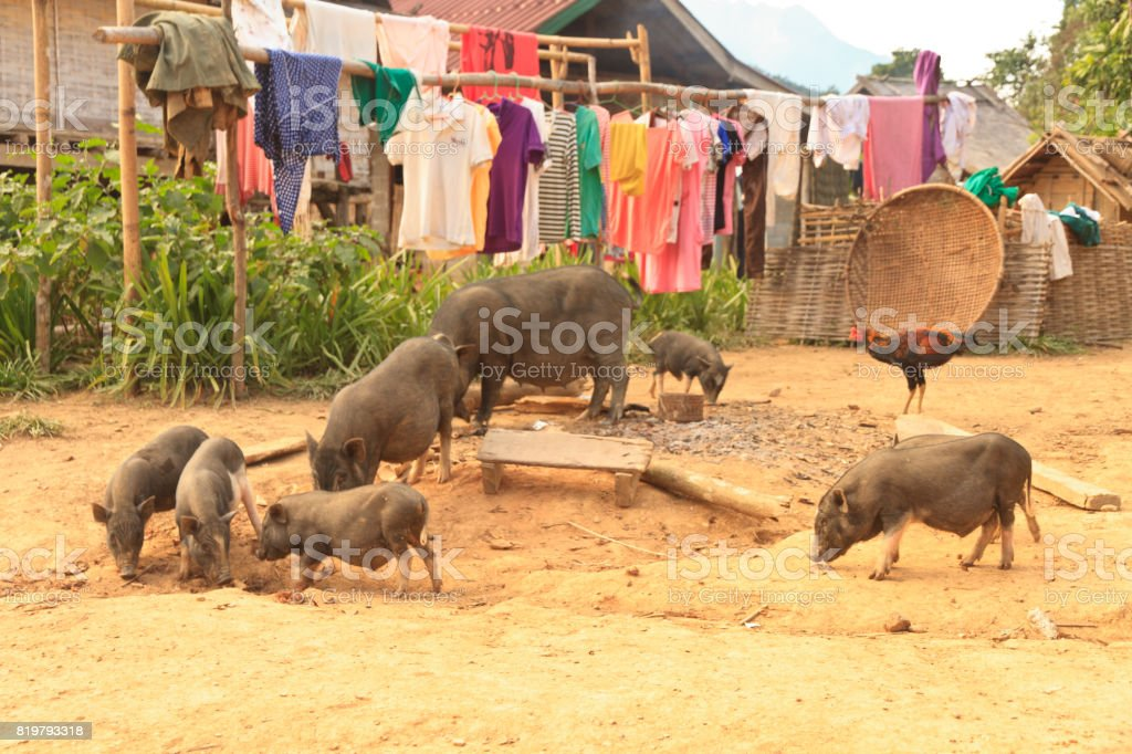 Wild pig family in abandon village stock photo