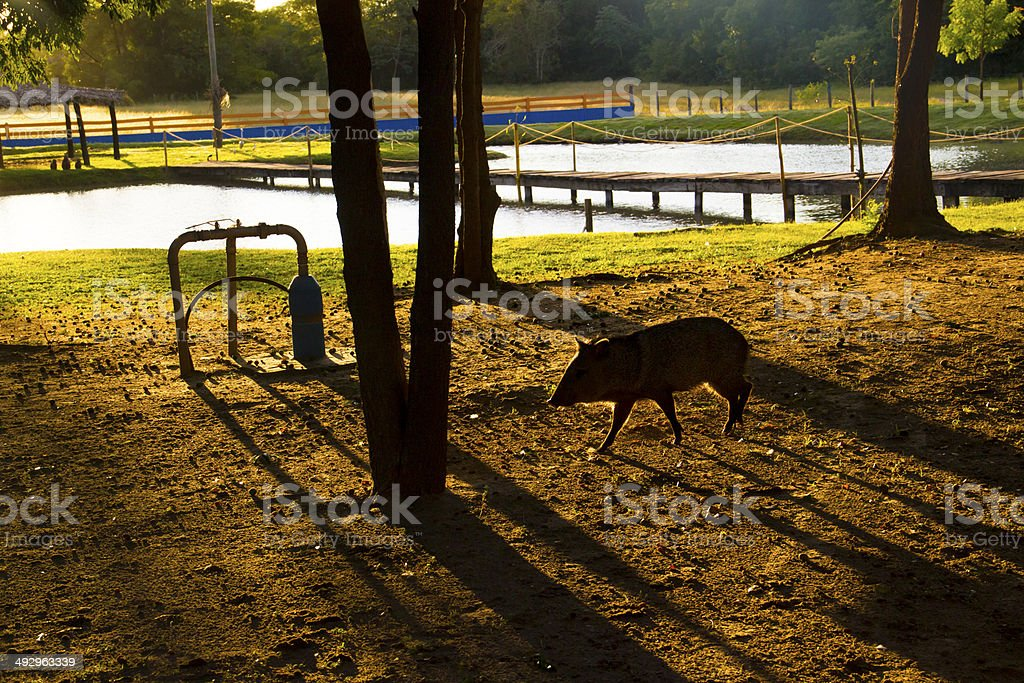 Wild Pig in the Sunrise stock photo